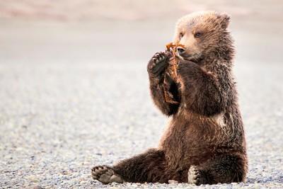 Coastal brown bear cub