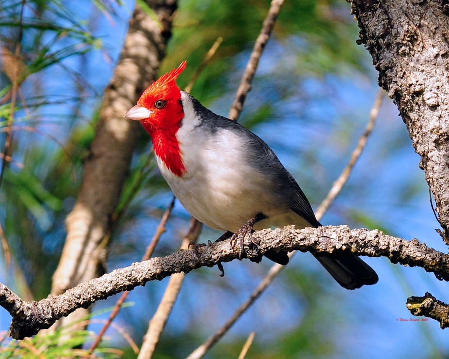 Hawaian Cardinal 30x24
