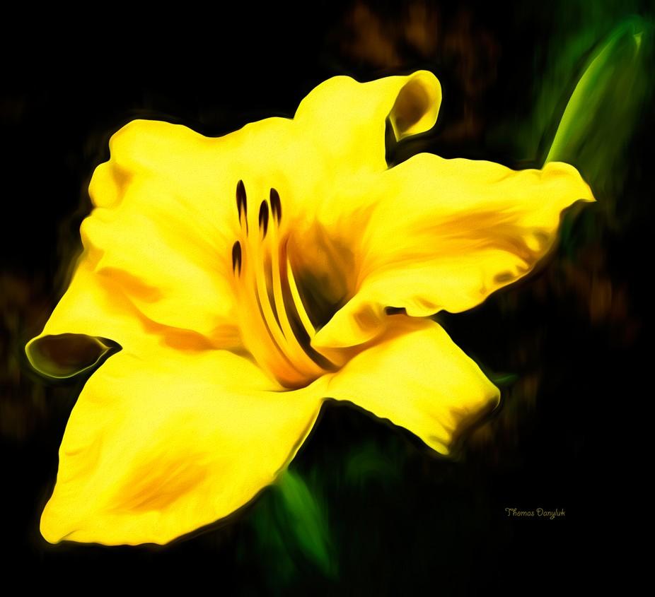 Yellow Day LillyZ