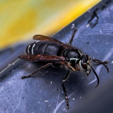 This Bald face Hornet was in serious trouble falling in the middle of the pond with fish nipping at the surface. It swam so far to safety, it dried off and flew away.