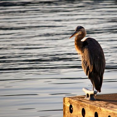 I came across this beautiful Blue Heron fishing off the dock