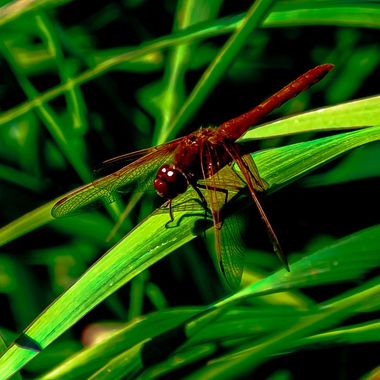 The Red colored Dragonfly enjoying a rest