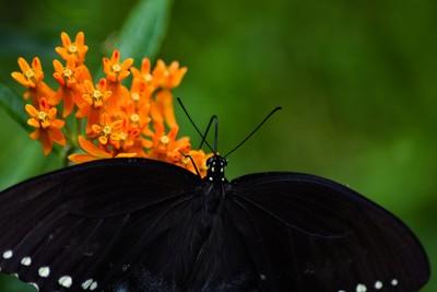 BlackButterfly3