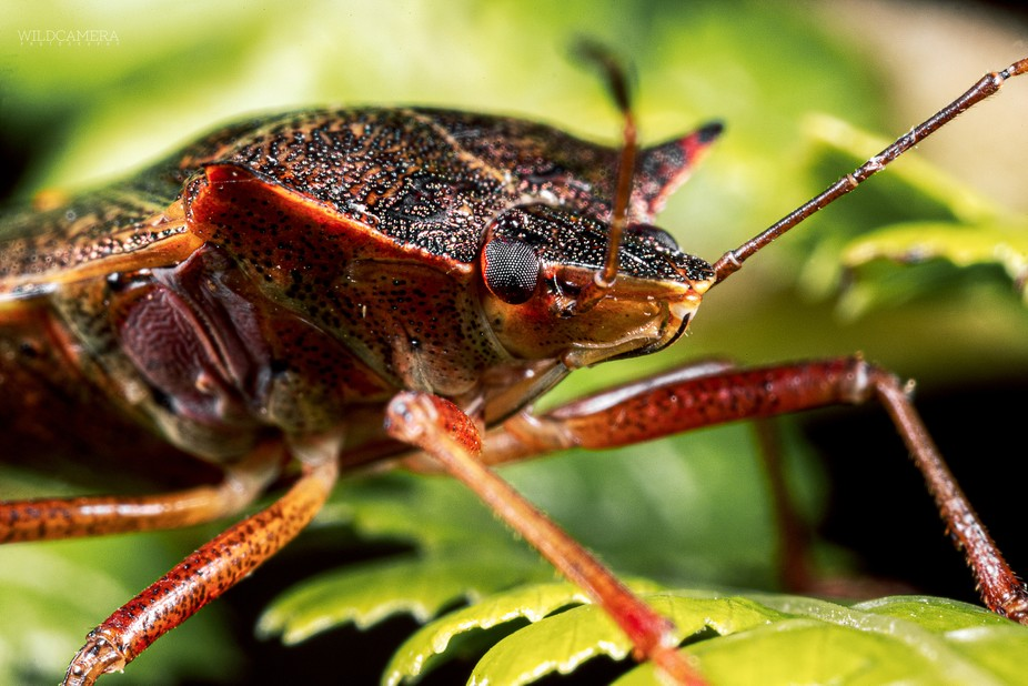 Red legged shield bug, I think ;)     This one was photographed at Exbury Gardens & Steam...