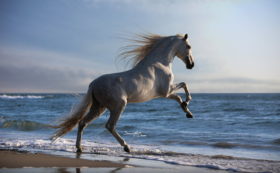 PRE Andalusian Stallion on the Oregon Beach !!