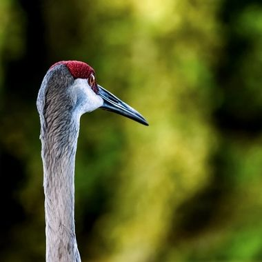 Sand Hill Crane From the Back NW