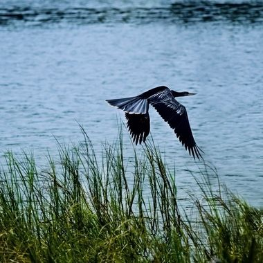 Anhinga Taking Flight at Lake Dora NW
