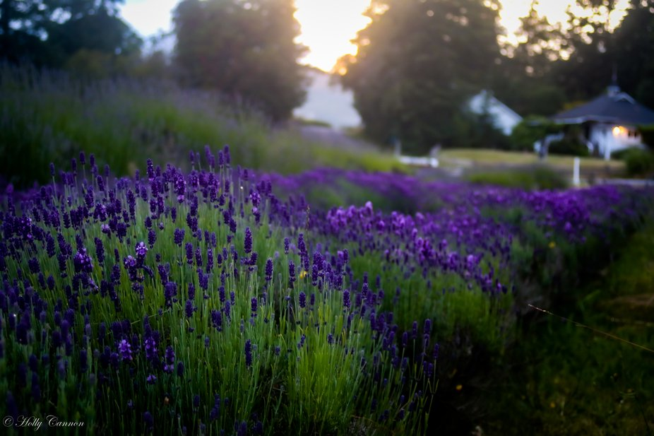 Lavender Farm on San Juan Island