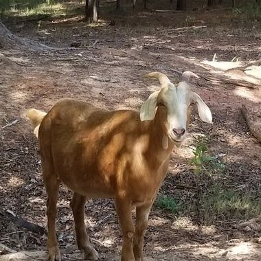 A brown goat.