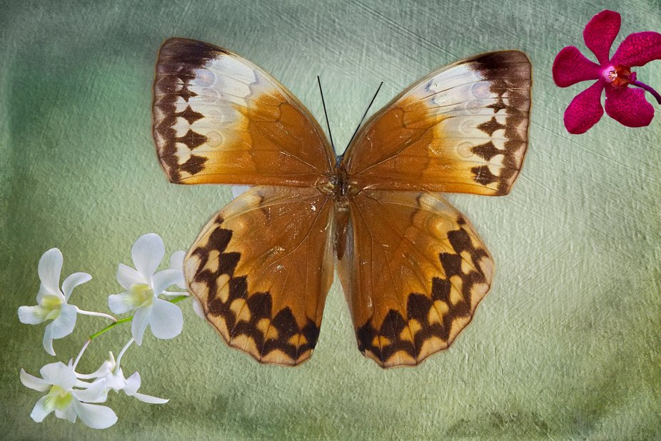 A butterfly with Orchard Flowers