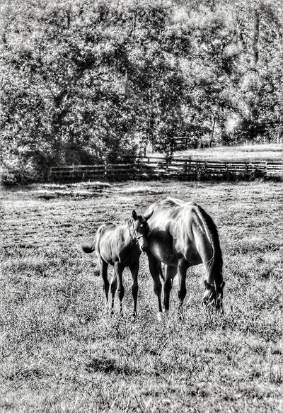 Thoroughbred Mare and Foal  B-W