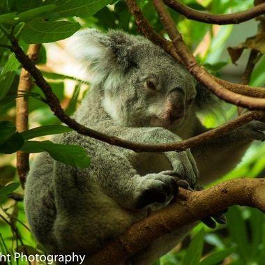 Female koala getting sleepy after lunch