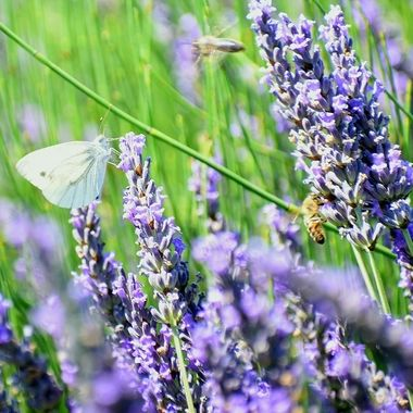a butterfly and two bees enjoying sweet lavender