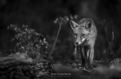 Wildlife in B&W series
