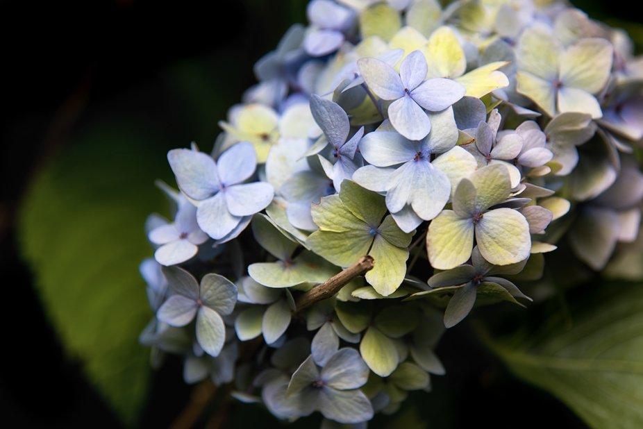 blue hydrang