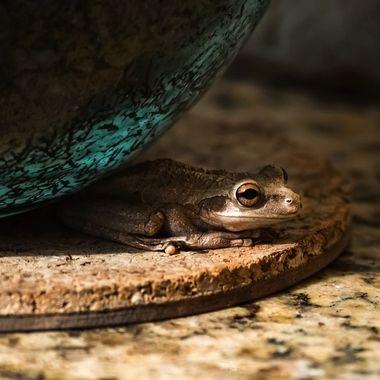 Cuban Frog Hiding NW