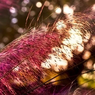 Pompass Grass and Bokeh NW