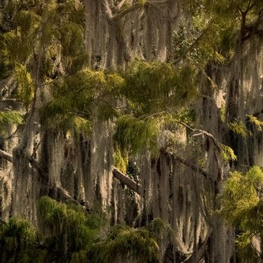 Curtains of Spanish Moss NW