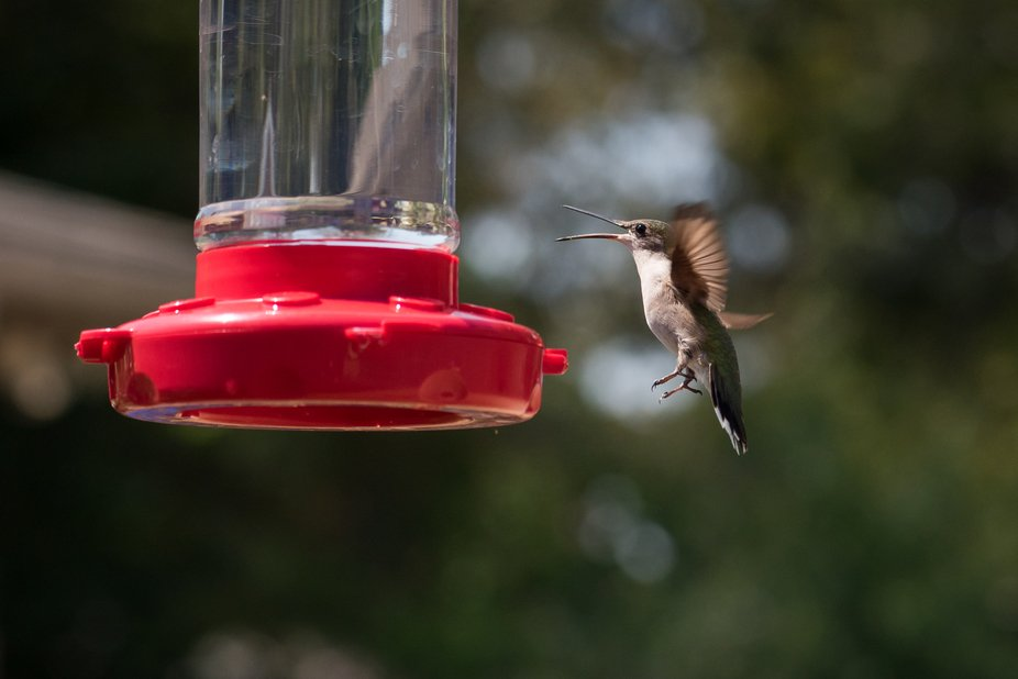 It only looks like this hummer is laughing. Actually, it was trying to fight off the sudden invas...