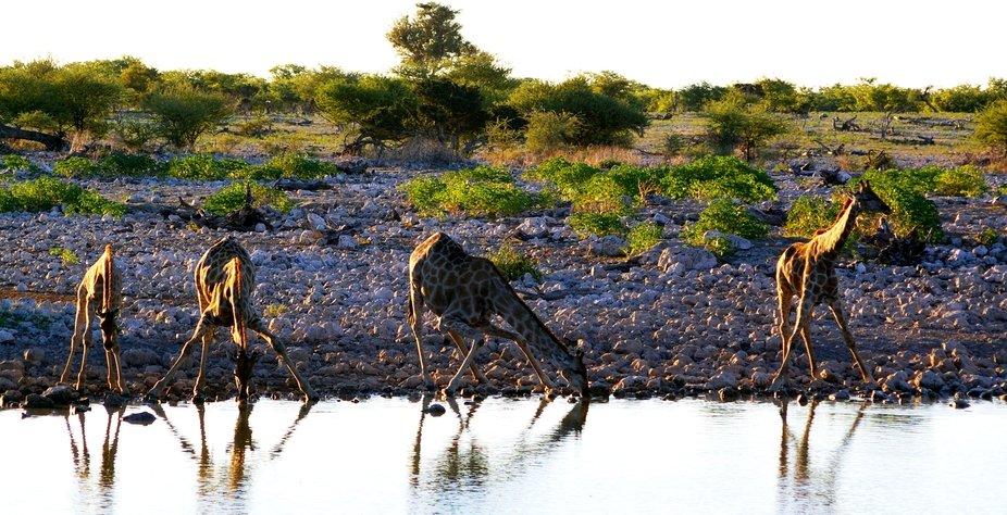 Giraffe in the evening sun