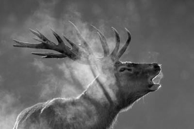 Red deer WB