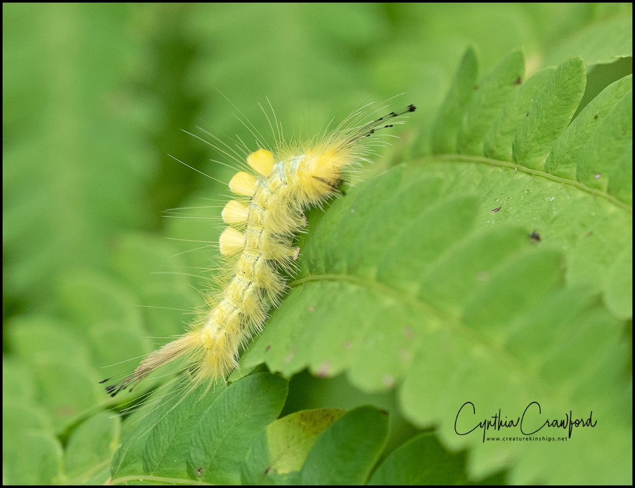 Definite Tussock Moth caterpillar