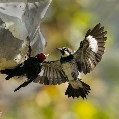 Acorn Woodpecker DSC05433