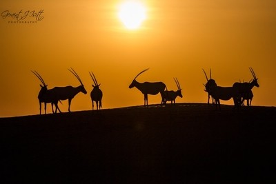 Oryx by dawn