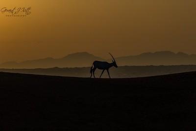 Arabian oryx in the dunes