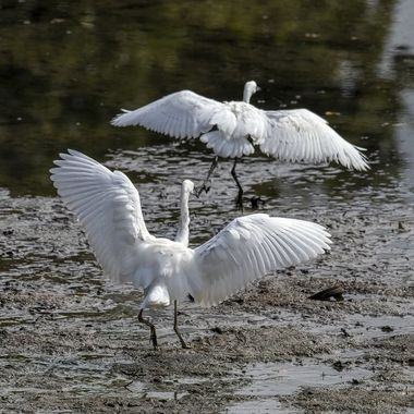 A display of belligerence ends with the dominant Little Egret chasing the other from its territory for the moment.