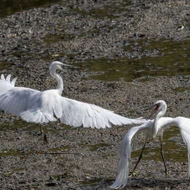 In a balletic display of aggression, these two Little Egrets begin a fight for dominance in the pecking order. Their beaks are very sharp and used precisely.