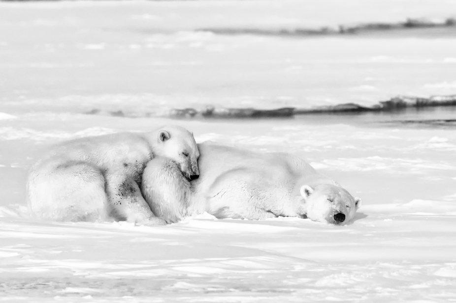 Polar bear cub cuddles with its mother