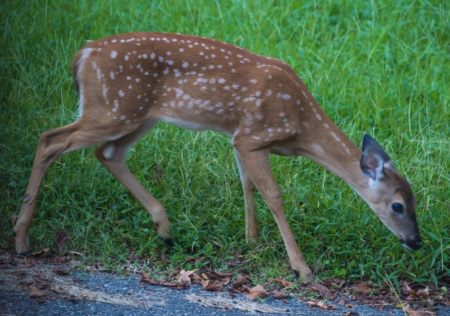 A whitetail deer fawn browsing at the edge of my driveway.