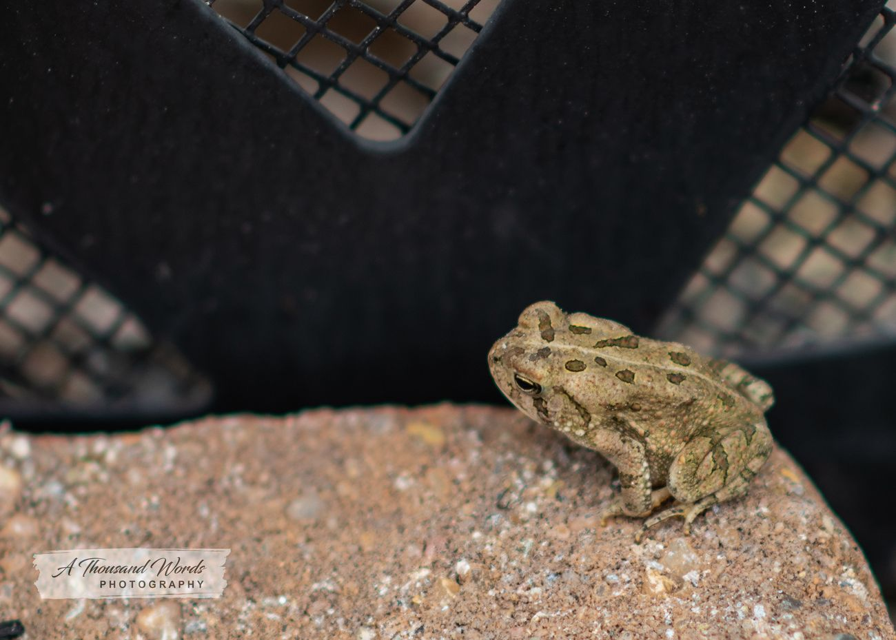 Copyright 2019 A Thousand Words Photography. Toad warming himself by the campfire.
