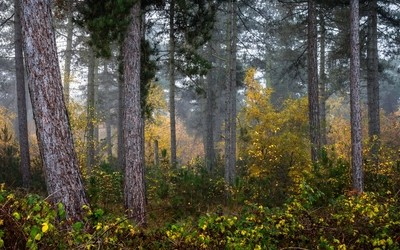 IMG_9481-Misty_Pine_Forest
