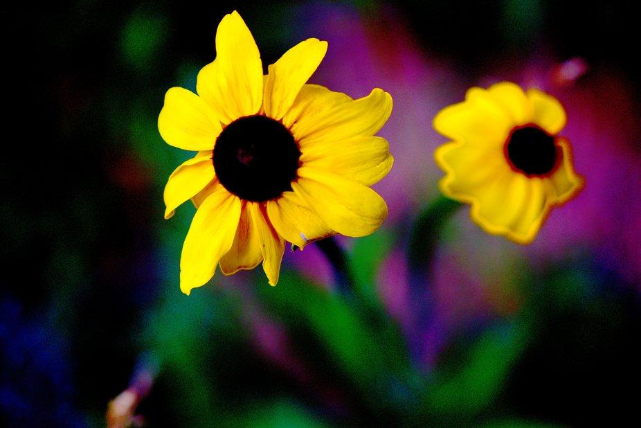 WildMiniSunflower3
