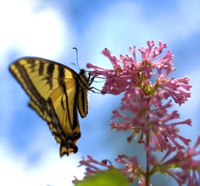 MonarchButterflyFeeding