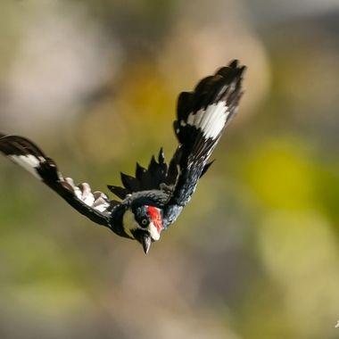 Acorn Woodpecker DSC05018