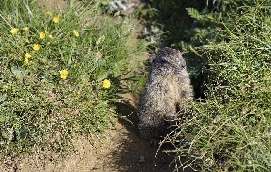 This young groundhog was too curious to hide for us as we passed on our ascent of the Blinnenhorn...