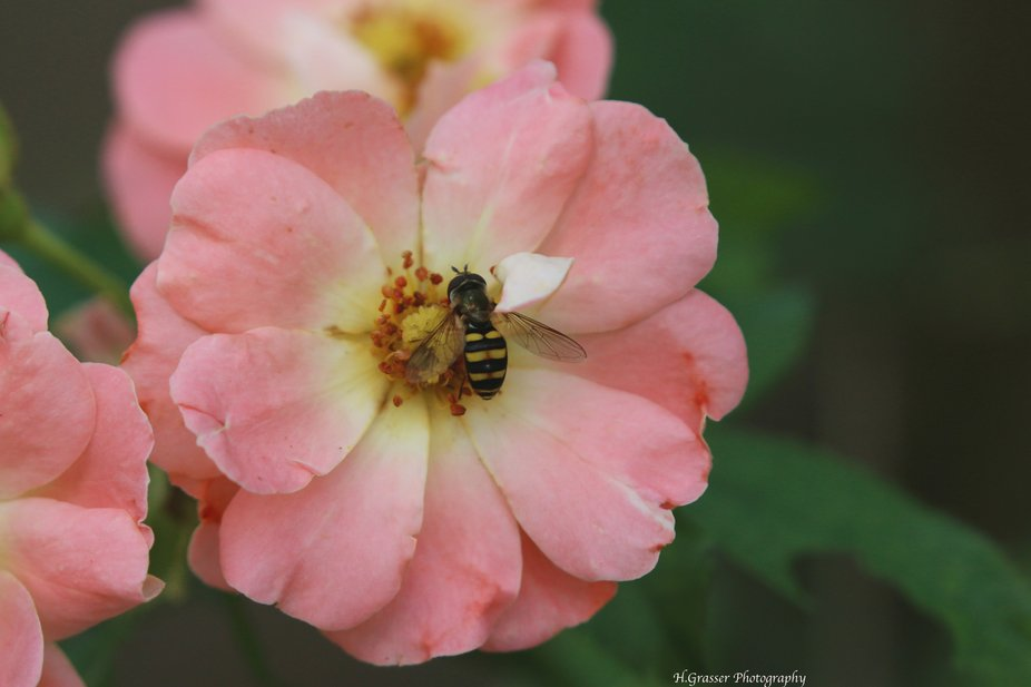 A Bee and his beautiful rose