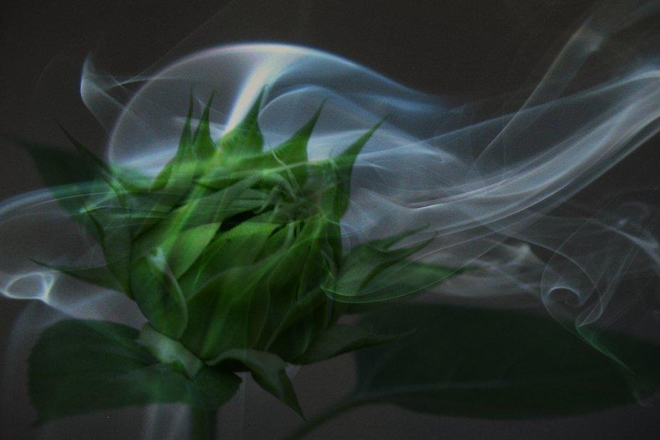 Sunflower with smoke