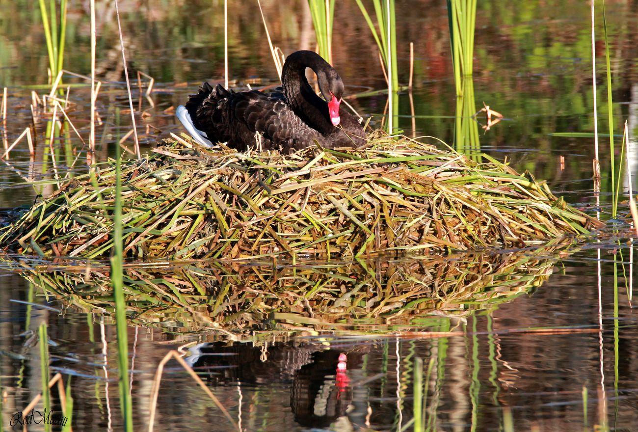 swan nest near home