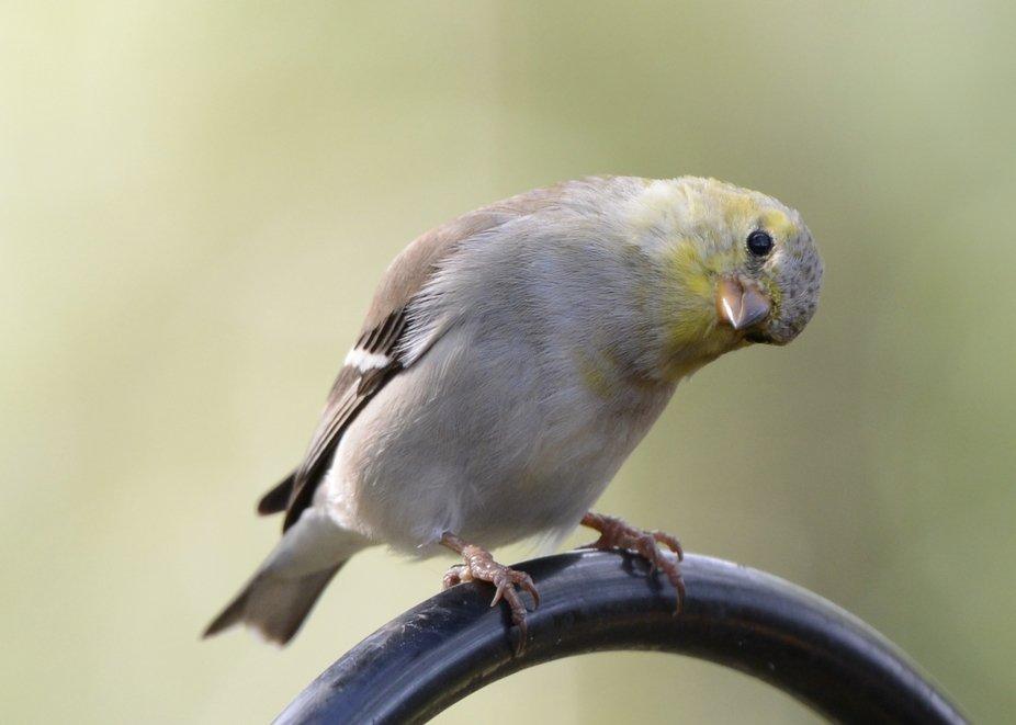 Finch 2