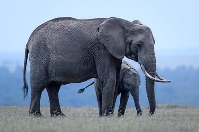 Elephant twilight