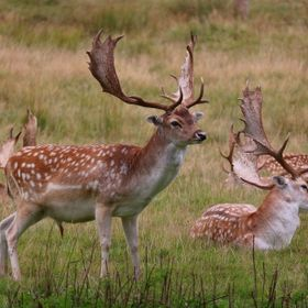 Photo taken 11th September of deer which included stags on Powderham estate at Kenton , Devon