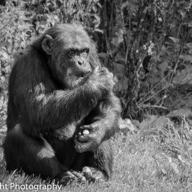 Edinburgh zoo-17 Alpha male