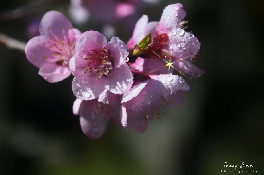 Diamond Blossom
