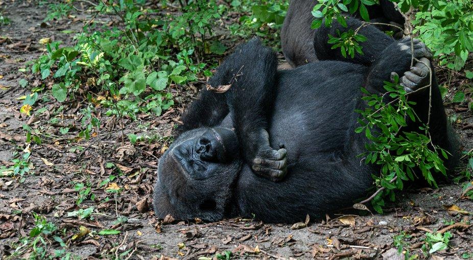 Lowland Gorilla Sleeping on his Back
