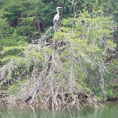 In 2015, I was kayaking down the Potomac River when I first saw the mighty blue heron. Ever since it has shown up reminding me that I am not alone on my healing journey. This past summer,(2019) me and my mom was fishing on Smith Mountain Lake when this Blue Heron flew back and reminded me that I am not alone. The Blue Heron is my animal spirit guide.