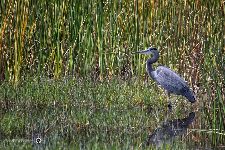 Classic great blue heron stance as they wait patiently for something to move and catch their eye.